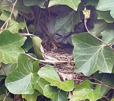 amsel im nest goehren insel ruegen reiseblog | Reiseblog Rügen