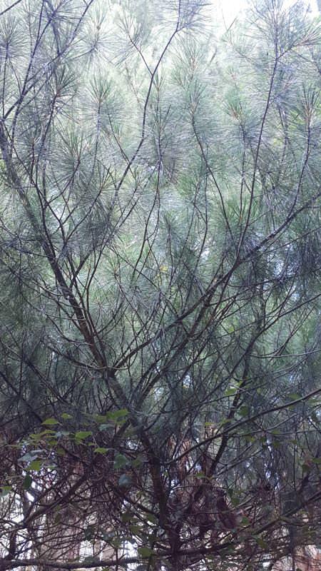 blatt weymouthkiefer arboretum erbsland mirow | Reiseblog Rügen