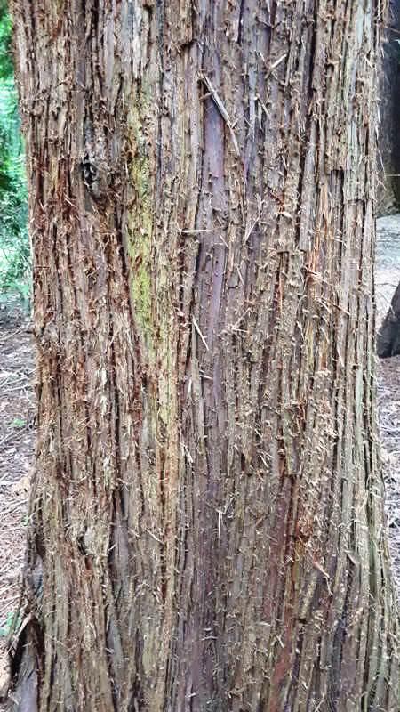 blitzschlagrinne douglasie baum im arboretum erbsland | Reiseblog Rügen