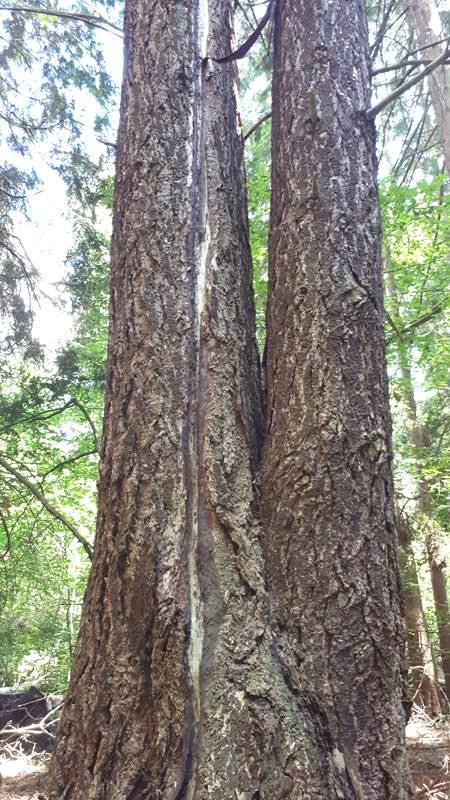 douglasie mit blitzschlagrinne im arboretum erbsland | Reiseblog Rügen