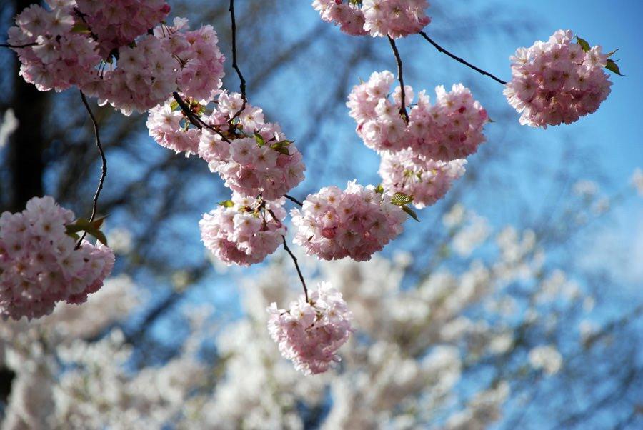 fruehling auf ruegen japanische kirsche | Reiseblog Rügen