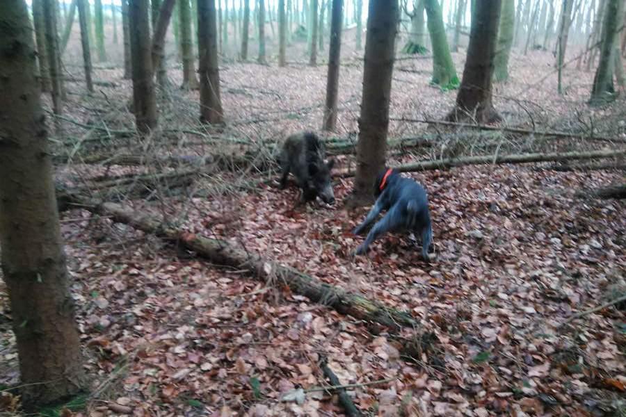 hund stellt wildschwein auf ruegen | Reiseblog Rügen