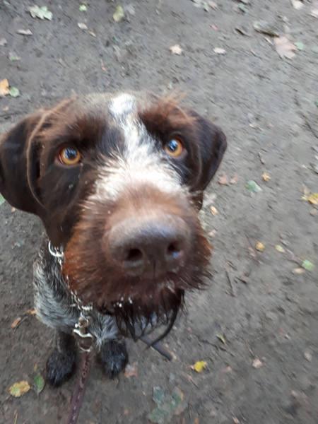 hunde schnauze zum knuddeln deutsch drahthaar | Reiseblog Rügen