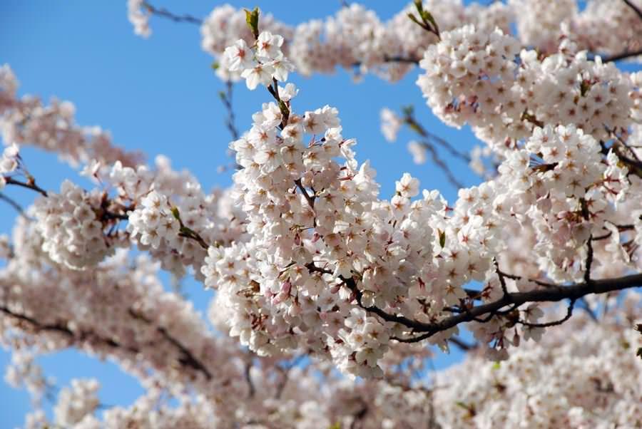 japanische kirsche auf ruegen fruehling | Reiseblog Rügen