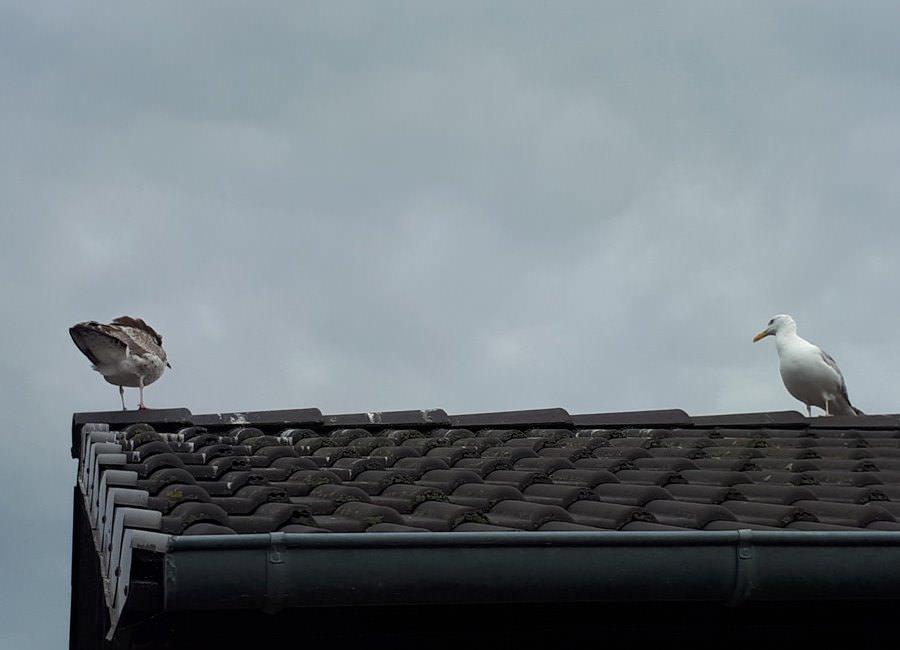 moewen auf dem dach hafen gager ruegen   Reiseblog Rügen