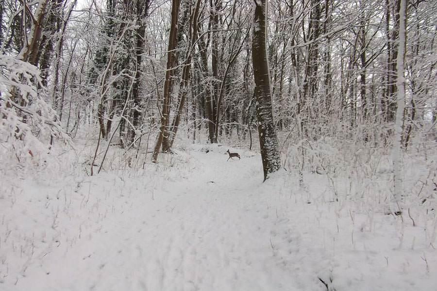 reh goehren ruegen insel im winter   Reiseblog Rügen