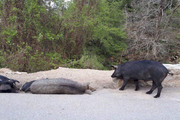 schweine-tiere-auf-der-insel-korsika-frankreich