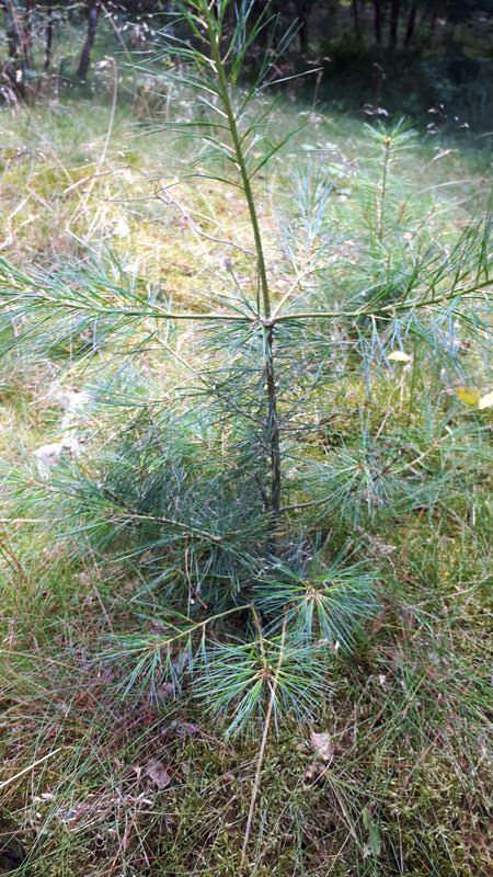 sidkafichte baum arboretum erbsland in mirow | Reiseblog Rügen