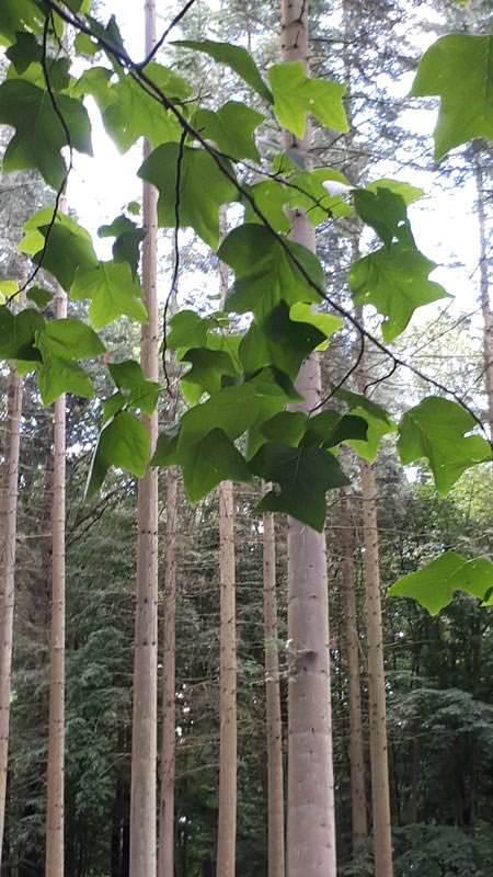 tulpenbaum blaetter arboretum erbsland in mirow | Reiseblog Rügen