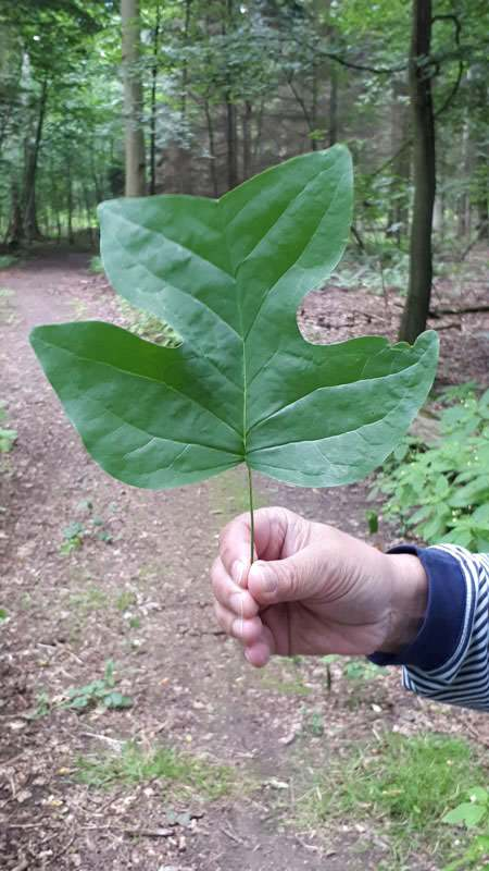 tulpenbaum blatt arboretum erbsland in mirow | Reiseblog Rügen