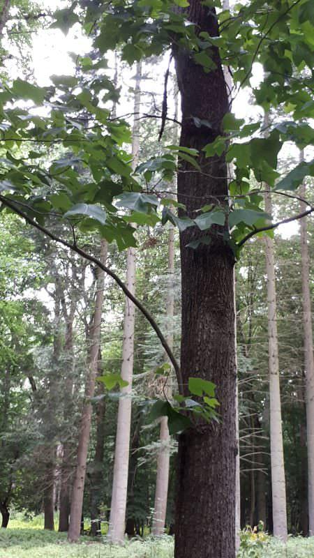 tulpenbaum im arboretum erbsland in mirow | Reiseblog Rügen