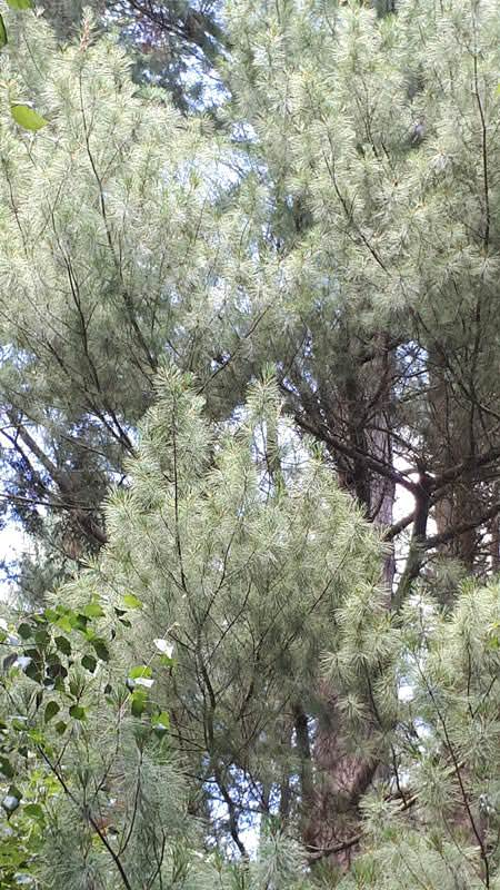weymouth kiefer arboretum erbsland mecklenburg | Reiseblog Rügen