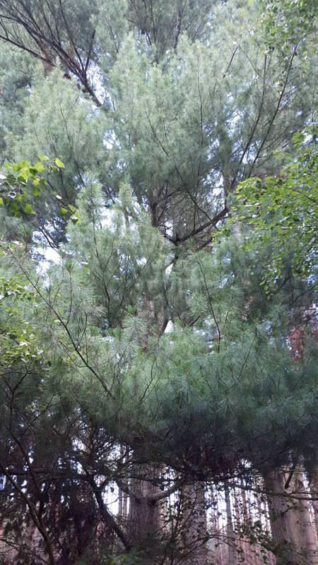 weymouthkiefer arboretum erbsland in mirow | Reiseblog Rügen